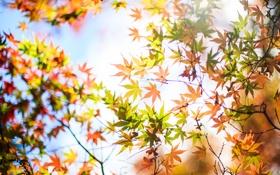 Картинка осень, листья, дерево, желтые, клен, крона