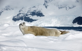 Обои природа, север, тюлень-крабоед