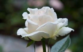 Картинка роза, цветок, белая, макро