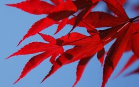 Обои небо, листья, осень, клен