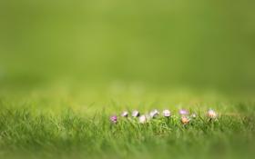Обои трава, цветы, природа, розовый, размытость, маргаритки, фокуc