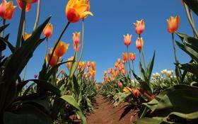 Обои поле, небо, листья, солнце, тюльпаны, грядки