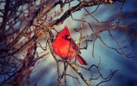Обои осень, птица, ветка, красная, bird, winter, кардинал