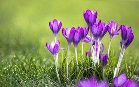 Обои трава, крокусы, зелень, роса, crocus, красота, цветы