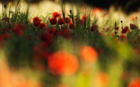 Картинка поле, макро, растение, маки, красные