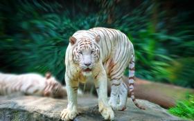 Картинка белый, взгляд, тигр, хищник