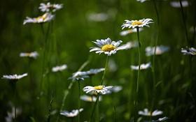 Обои поляна, цветение, flower, природа, зелень, ромашки, цветы