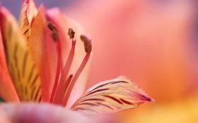Обои цветок, макро, розовый, лилия, лепестки
