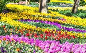 Обои цветы, парк, тюльпаны, Нидерланды, солнечно, разноцветные, красивые