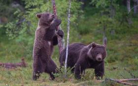 Обои медведи, бурый, лес