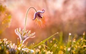 Картинка цветок, трава, капли, роса, фон