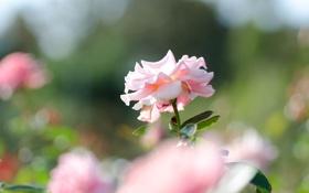 Обои роза, поле, кусты, розовая, фокус
