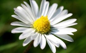 Картинка цветок, природа, растение, весна, лепестки, ромашка, цветение