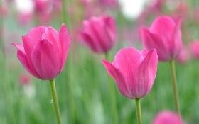 Картинка листья, тюльпаны, луг, лепестки, сад