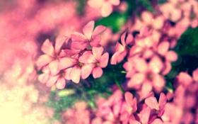 Обои розовые, цвет, размытость, растения, обработка, яркие, природа