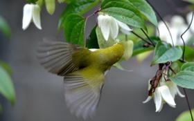 Обои цветы, птица, клематис, Японская белоглазка