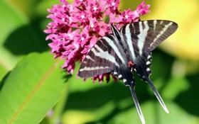 Обои цветок, эвритида марцелл, макро, бабочка