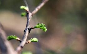 Обои макро, природа, фото, растения, весна, ветвь, листики