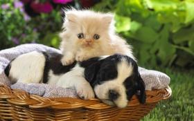 Картинка спит, щенок, котенок, корзинка
