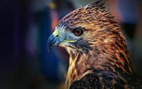 Картинка макро, глаз, птица, голова, перья, клюв, профиль