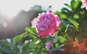 Картинка цветок, розовые, лепестки, пион