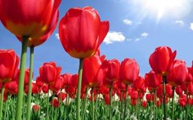 Картинка тюльпаны, бутоны, природа, красные, лепестки, цветы