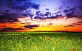 Картинка поле, небо, трава, закат, цветы, маки, sky