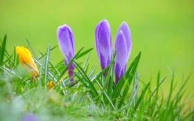 Обои природа, весна, трава, крокус