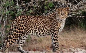 Картинка трава, взгляд, морда, хищник, колючки, пятна, леопард