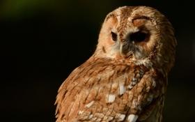 Картинка сова, серая неясыть, птица, Tawny Owl
