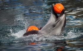 Обои дельфин, мяч, шоу