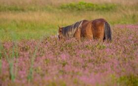 Обои лошадь, трава, лето, луг, хвост, пастбище, конь