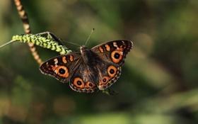 Картинка бабочка, размытость, травинка, колосок