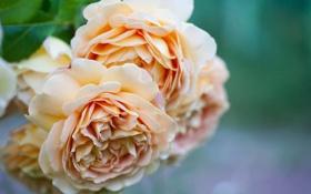Картинка макро, цветы, розы