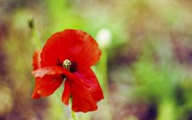 Картинка поле, цветок, макро, красный, зеленый, растение, цвет
