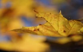 Картинка осень, макро, желтый, природа, лист, клен