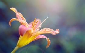 Обои флора, свет, лилия, бутон