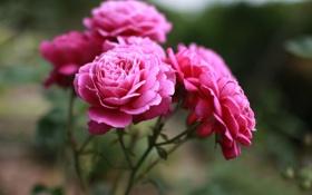 Картинка макро, цветы, розы, красота, лепестки, розовые, бутоны