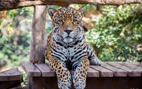 Обои взгляд, морда, хищник, лапы, ягуар, большая кошка