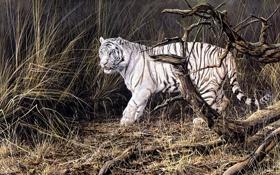 Обои осень, животные, тигр, живопись, белый тигр, сухая трава, Alan M. Hunt
