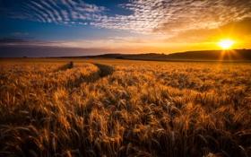 Картинка пшеница, поле, закат, колосья