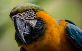 Обои птица, перья, попугай, окрас, ара, желый