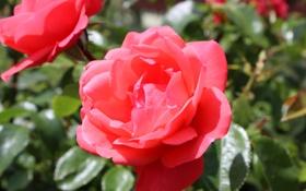 Обои листья, роза, уст, лепестки, бутон