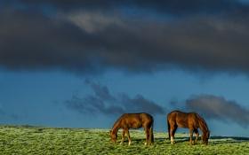 Обои поле, небо, природа, кони