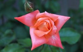 Обои цветок, роза, растения