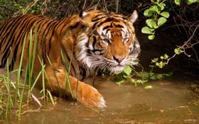 Картинка Тигр, купание, водоем, погружение в воду