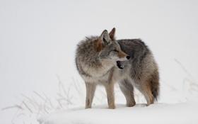 Картинка зима, природа, волк
