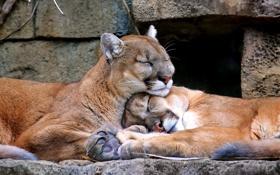 Картинка камни, фон, сон, семейство кошачьих, горный лев, кугуар, Puma concolor