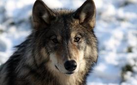 Обои морда, волк, портрет, хищник