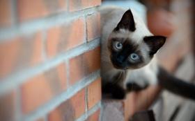 Картинка кошка, взгляд, стена